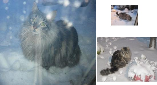oscar the maine coon in the snow