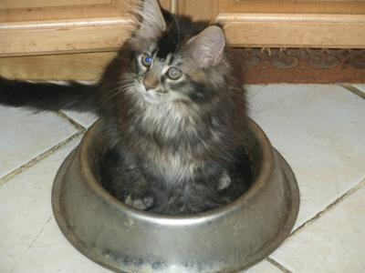 Maine Coon Kitten in a big dish