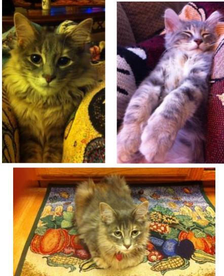 pippa maine coon mix kitten