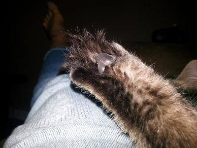 This a picture of his hind foot and the tufts of hair he has growing between his toes. He has tufts like this on each paw.