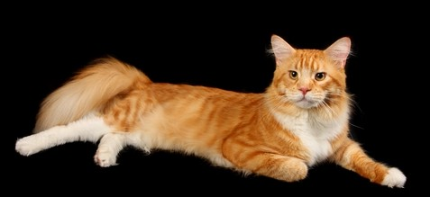 Red Tabby With White