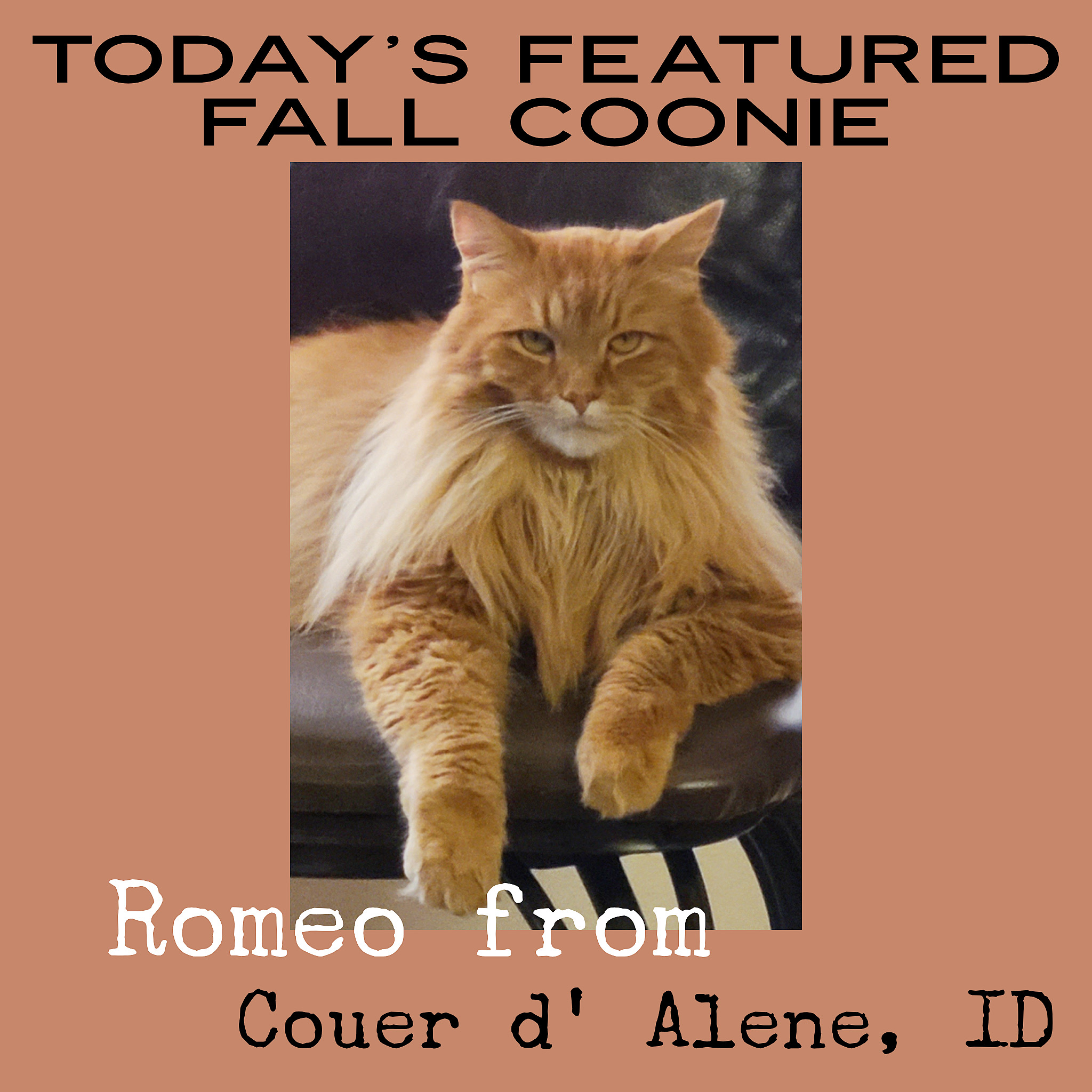 handsome ginger maine coon cat