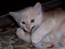 rusty creamsicle, light red kitten