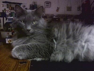rye the blue maine coon
