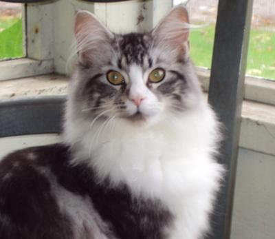 sadie the brown and white maine coon