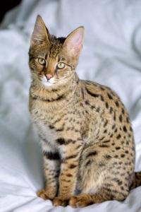 savannah cat sitting pretty