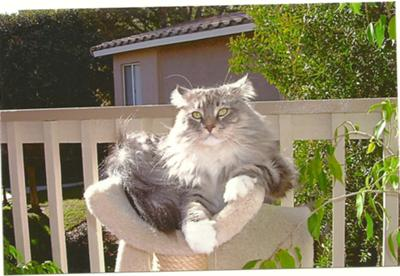 purebred silver male maine coon