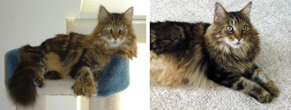 simba the classic brown tabby maine coon