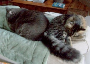 maine coon & russian blue cat