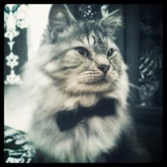 artistic fluffy silver kitty on blurred background