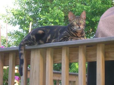 tabby cat outside on railing