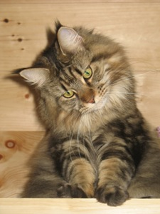 bella classic tabby brown maine coon cat