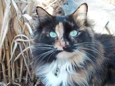 Maine Coon Cat Photos - Maybe Maine Coons