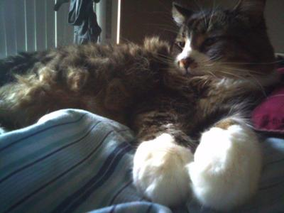 brown/white maine coon lounging