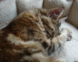 young kitten sleeping