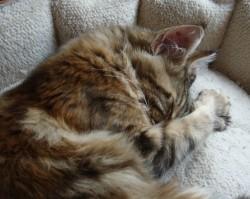 young kitten sleeping