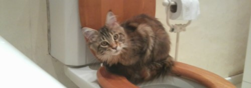 kitten sitting on toilet