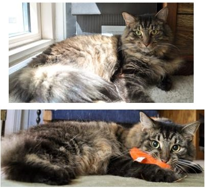 travis the brown tabby maine coon