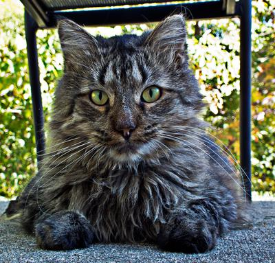 brown tabby sitting outside looking into camera