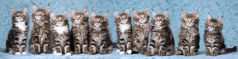 ten adorable Maine Coon brown tabby kittens in a row