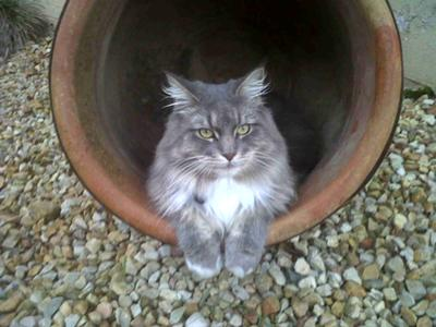 purebred silver maine coon cat