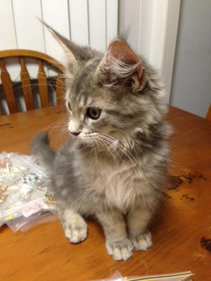 Maine coon breeders france