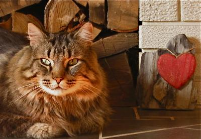 jake the brown classic tabby maine coon lounging by the fireplace