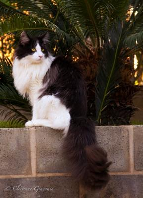 purebred black and white maine coon
