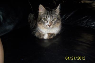 Maybe Maine Coon Kitten