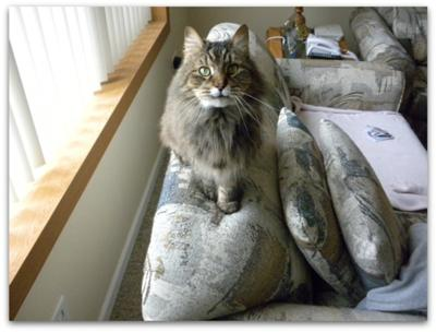 mittens the brown maine coon