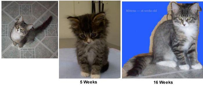 mittens the kitten
