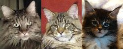 three maine coons collage