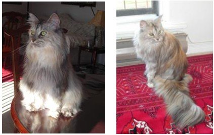keiki the silver maine coon