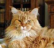 handsome red maine coon cat