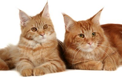 Two Striking Red Maine Coon Cats