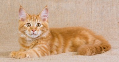 Cute Red Maine Coon Kitten