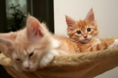Two Adorable Red Maine Coon Kittens