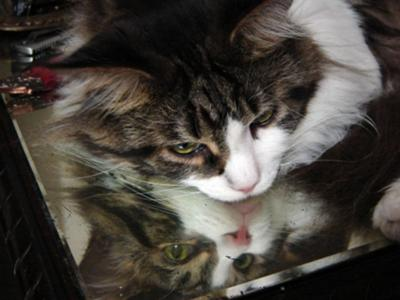 seti tabby and white maine coon male