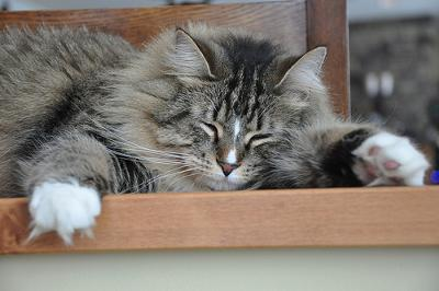 two cats maine coon and russian blue