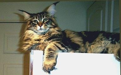maine coon cat on fridge