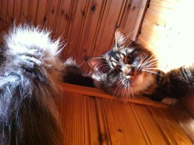 tyson the maine coon cat